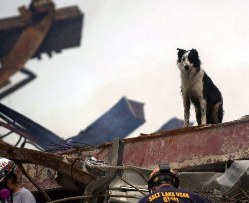 A Collie watching a pile of rubble
