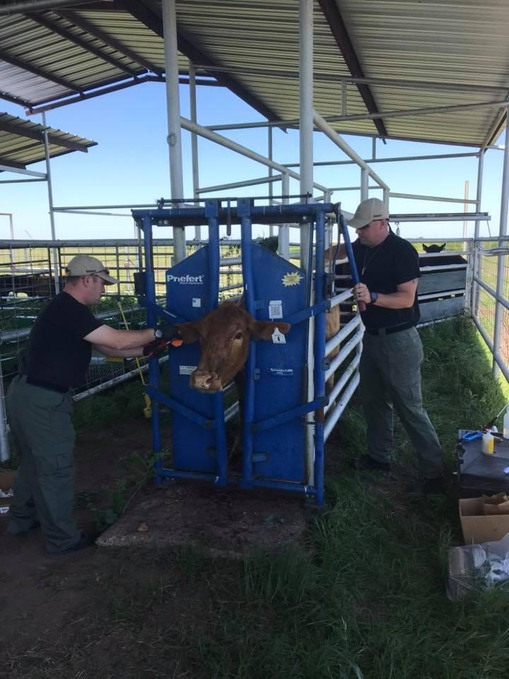 Officers making sure all cows were wormed, tagged and vaccinated